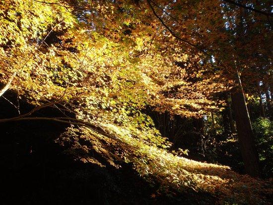 Aisho-cho, Japonya: 陽光の関係でまるでライトアップされたように写る紅葉