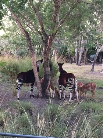 Disney's Animal Kingdom Villas - Kidani Village: Entrance to Kidani, Okapis eating by the pool, view from our balcony (room 7439)