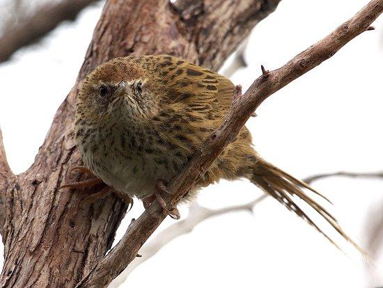 Okarito, New Zealand: Endemic NZ Fernbird