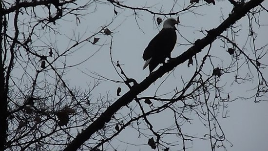 Lampe, MO: Got to see Bald Eagles on our tram ride and was lucky to capture this on film.