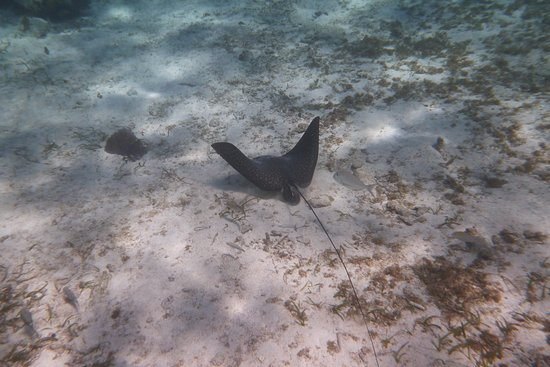 Grumpy & Happy : Spotted Eagle Ray