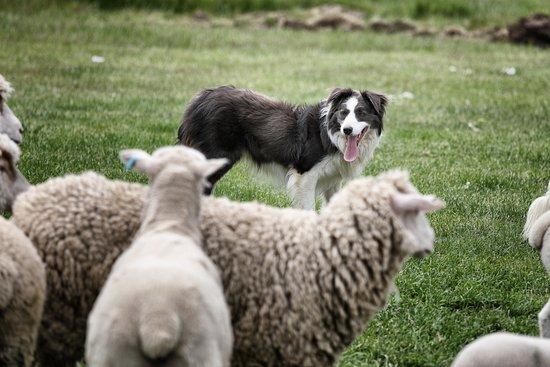 Hamilton, ออสเตรเลีย: Sheep dog