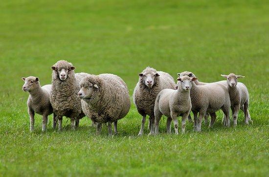 Hamilton, ออสเตรเลีย: A family of sheeps :)