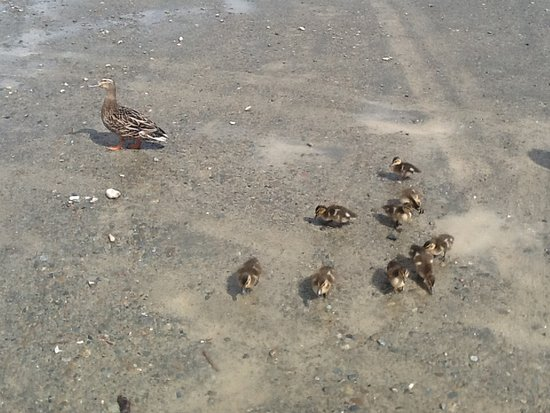 Saint Arnaud, Nowa Zelandia: Family of ducks in the car park at the lakeside