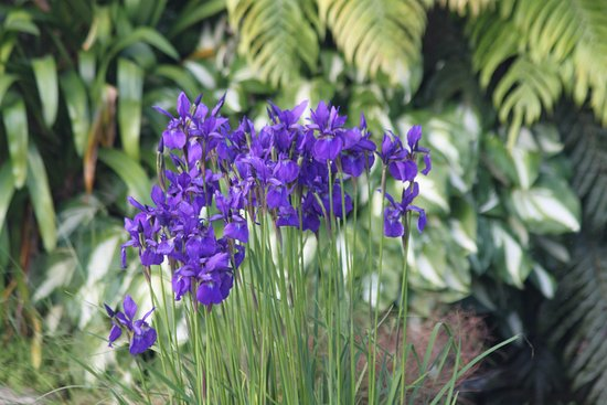 Te Kuiti, New Zealand: Purple Iris in Montrose Garden/Waitomo Boutique Lodge