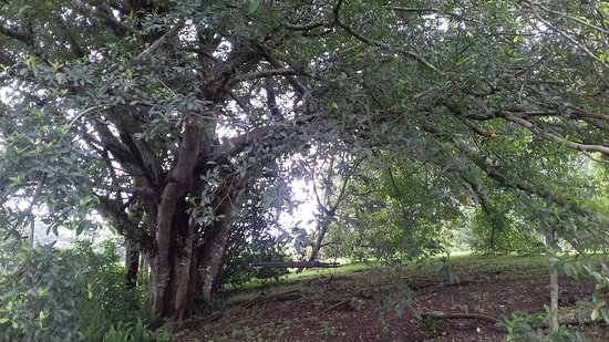 Eshowe, South Africa: Beautiful tree on the property