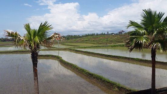 Jembrana, Indonesia: Rice Terraces on either side of Hotel