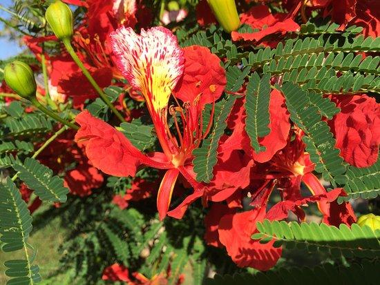 fleurs du flamboyant : arbre du jardin du Sofitel - Picture ...