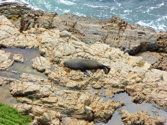Invercargill, Nova Zelândia: Seelöwen Kaka Point