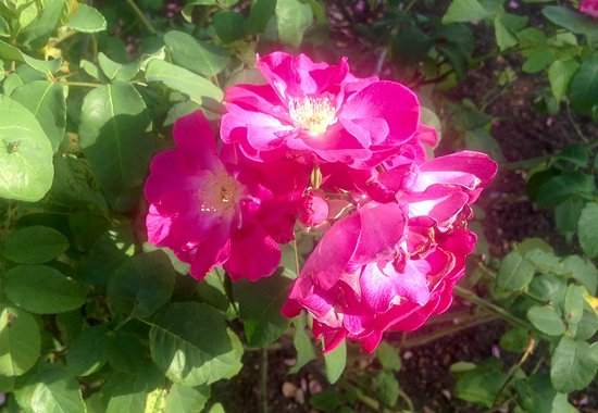 Cape Coral Historical Museum : De jolies roses