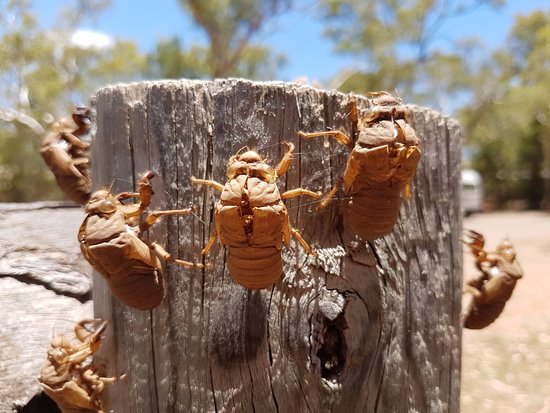 Undara Volcanic National Park, Australia: Cicada shells after hatching