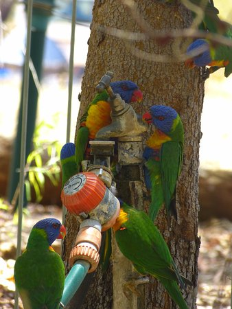 Undara Volcanic National Park, Australia: Lorikeets by the swimming pool