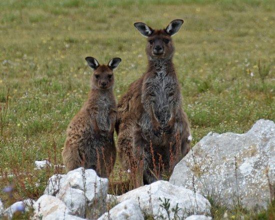 Kingscote, Australia: You walk among the Kangaroos