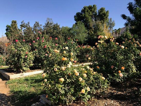 University of California Riverside Botanic Gardens: Rose garden