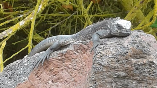 Puerto Villamil, Ecuador: Iguana Marina descansando en el sol