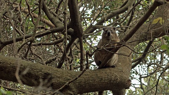 Ramsgate, South Africa: Tree dassie in trees by beach entrance