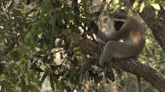 Ramsgate, South Africa: Vervet monkey in tree on lawn