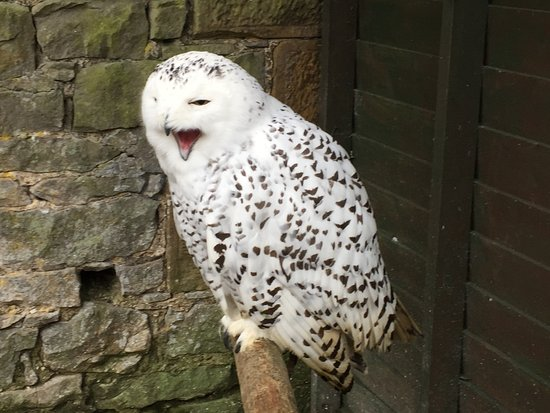 Hexham, UK: Snowy Owl