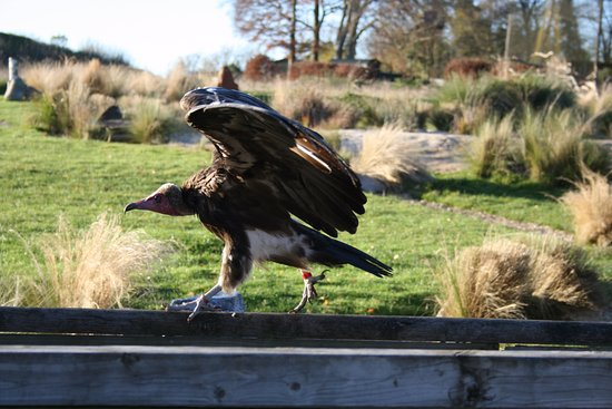Andover, UK: Vulture having a walk along the fence