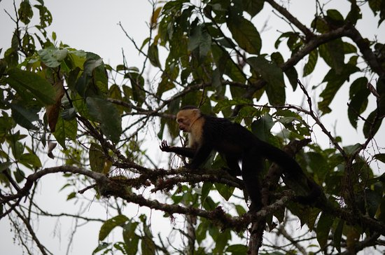 San Vito, Коста-Рика: Capuchin Monkey