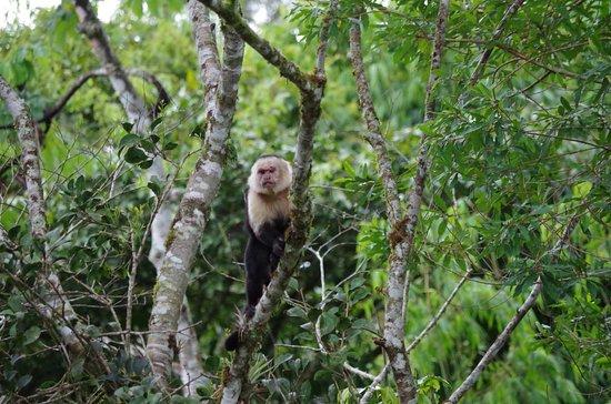 San Vito, Коста-Рика: Alpha Male
