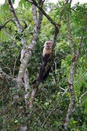 San Vito, Costa Rica: Capuchin Monkey