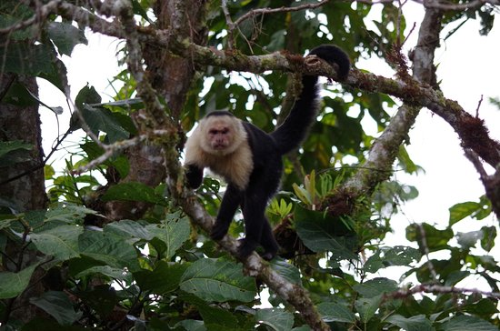 San Vito, Costa Rica: Alpha Male keeping an eye on us.