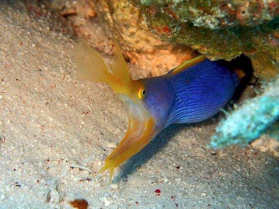 Kadena-cho, Japan: Ribbon eel - Aloha Divers Okinawa