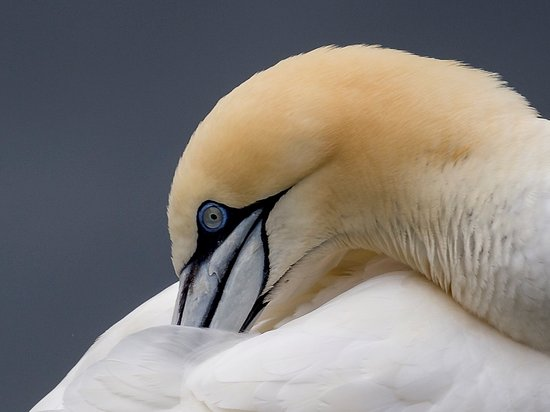Unst, UK: Gannet, Hermaness National Nature Reserve