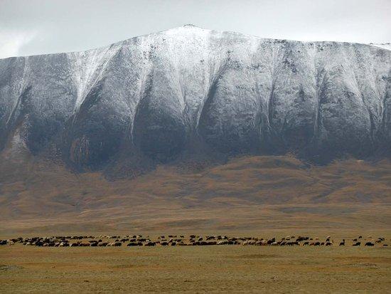 Kirgisische Yak-Herde vor der Grenze - Picture of Torugart Pass ...   {Herde 71}