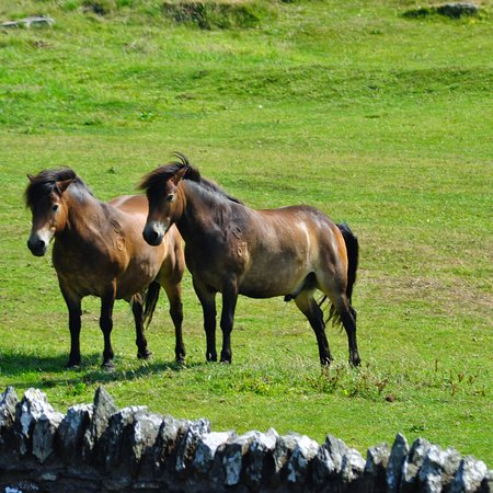 Exmoor Nationalpark, UK: EXMMOOR PONY'S