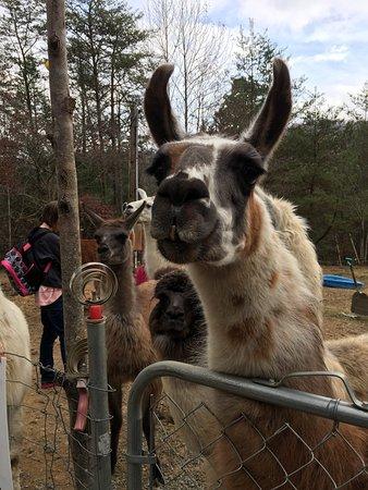 Smoky Mountain Llama Treks - Day Tours: photo1.jpg