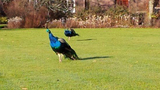 Perth, UK: Peacocks roam the grounds