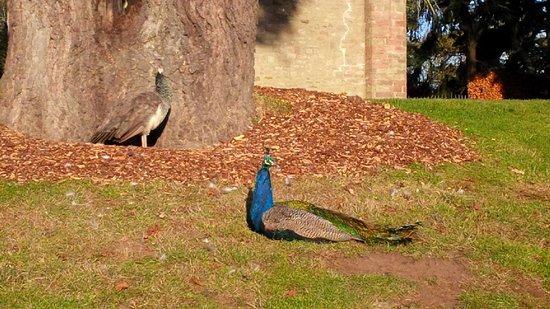 Perth, UK: Peacocks