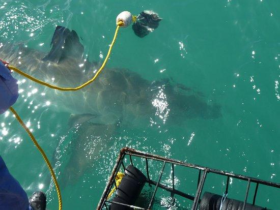 Gansbaai, Sudáfrica: shark