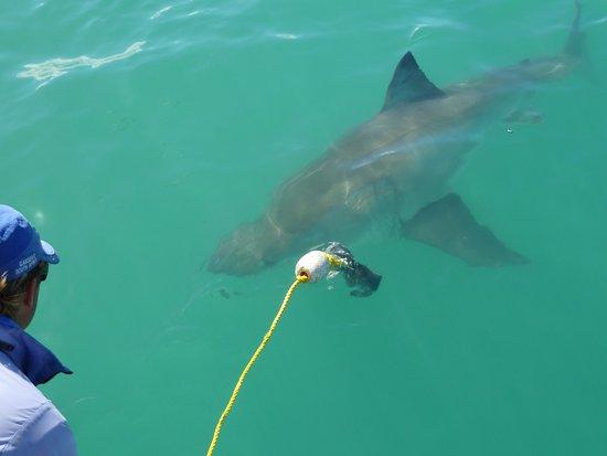 Gansbaai, Güney Afrika: shark