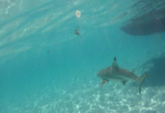 Haapiti, Polinesia Francesa: a black tip reef shark