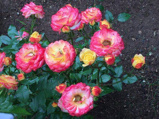 Annapolis Royal Historic Gardens: Roses again :)