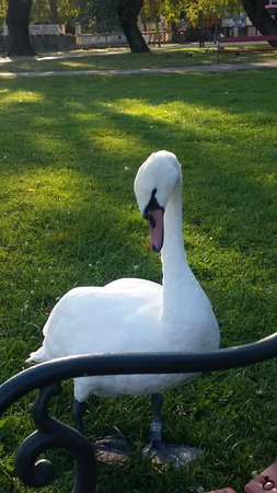 Keszthely, Hungary: swan at the lake