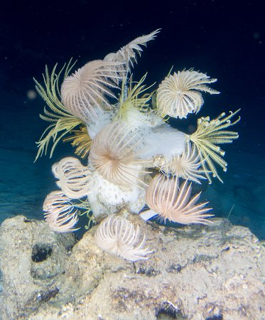 West End, Honduras: Crinoids also known as Sea Lily's