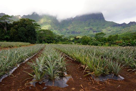 Moorea Explorer: Ananasfelder
