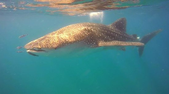Tofo, Mozambik: Snorkeling with a humpback