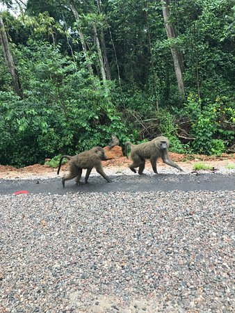 Kasese, Uganda: Baboons In Kabale (2)