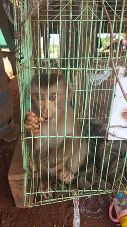 Sen Monorom, Cambodia: Caged monkey - for customers. !