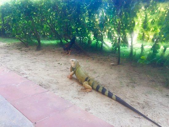 Iguana's: iguanas!