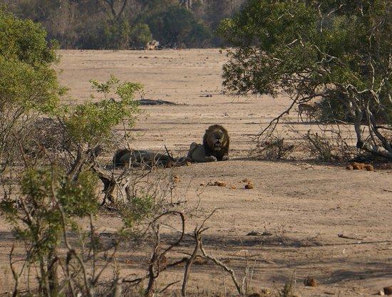 อุทยานแห่งชาติครูเกอร์, แอฟริกาใต้: De Koning der dieren!