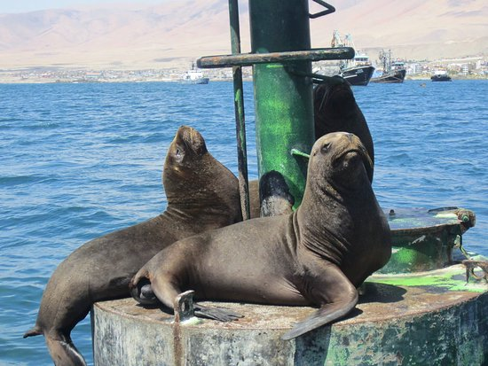 Ilo, Peru: Lobos marinos descansando en las boyas, imagen captada desde el bote.