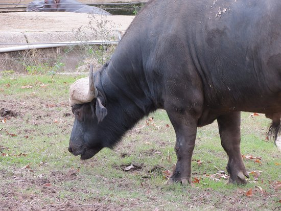 Monroe, Louisiane : Water Buffalo