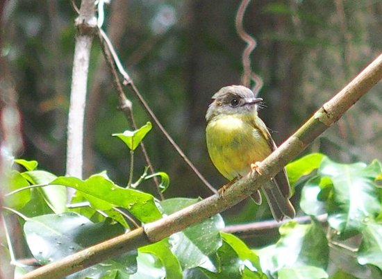 Buderim, Australien: Pale Yellow Robin