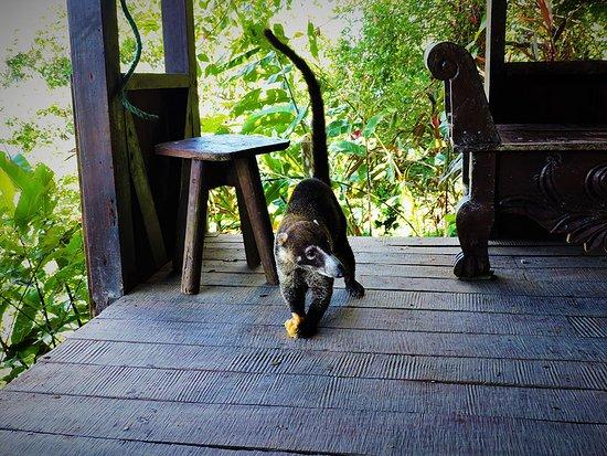 Гольфито, Коста-Рика: Coati having breakfast with us
